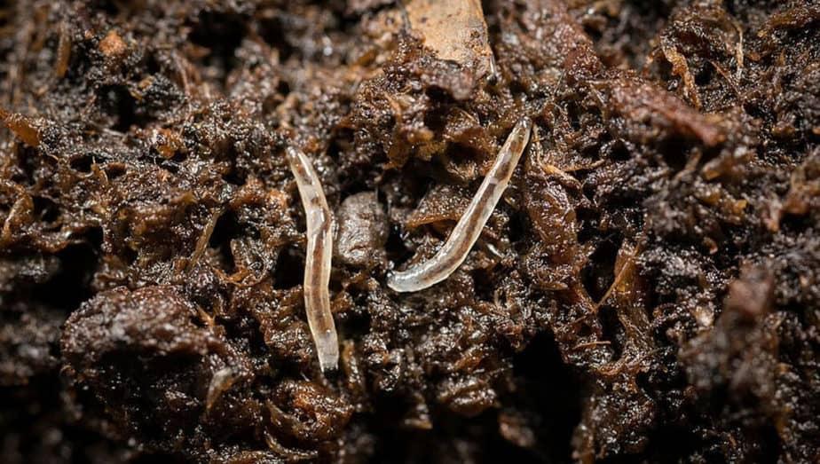 smutnice-larva