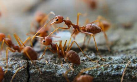 Hubení mravenců ve skleníku aneb zatočte s nimi jednou provždy